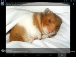 Caline, rongeur Hamster