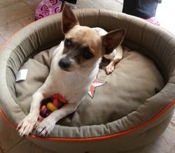 Câline, chien Chihuahua