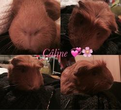 Caline, rongeur Cochon d'Inde