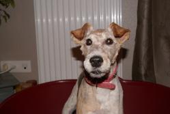 Caline, chien Fox-Terrier