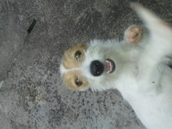 Calîne, chien Griffon à poil dur Korthals