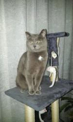 Caline, chat Chartreux