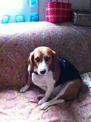Câlinette, chien Beagle