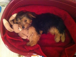 Câlinette Princesse, chien Yorkshire Terrier