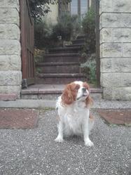 Calinka, chien Cavalier King Charles Spaniel
