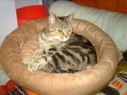 Calinn, chat Européen