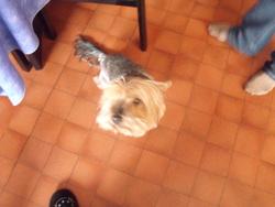 Câlinos, chien Yorkshire Terrier