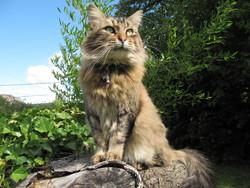 Calinou, chat Norvégien