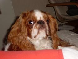 Calinou, chien King Charles Spaniel