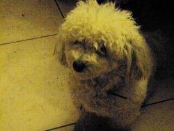 Calinou, chien Bichon à poil frisé