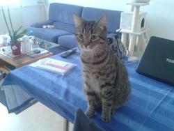 Calinou, chat Européen