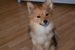 Calipso, chien Spitz allemand