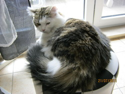Calista, chat Angora turc