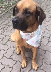 Calixe, chien Cane Corso