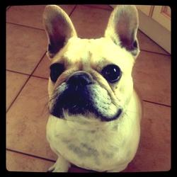 Caliy, chien Bouledogue français
