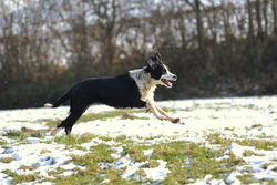 Calla, chien Border Collie