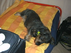 Callas, chien Teckel