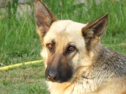 Callia, chien Berger allemand