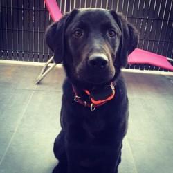 Callie, chien Labrador Retriever