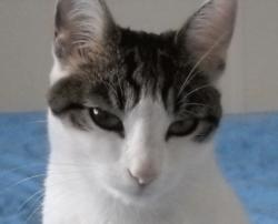 Callie, chat Gouttière