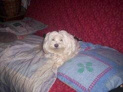 Callie, chien Bichon maltais