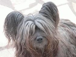 Calloway, chien Skye Terrier
