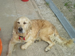Cally, chien Golden Retriever