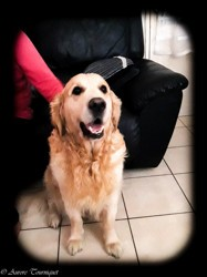 Calou, chien Golden Retriever