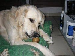Calou, chien Golden Retriever