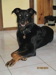 Calvi, chien Beauceron