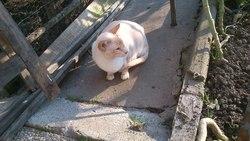Calvin, chat Siamois