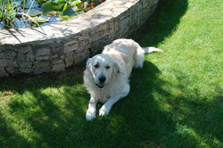 Calvin, chien Golden Retriever