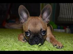 Caly, chien Bouledogue français