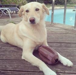 Caly, chien Labrador Retriever