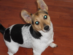 Caly, chien Jack Russell Terrier