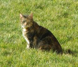 Calyne, chat Européen