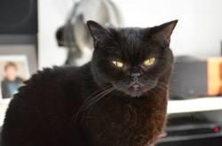Calypso, chat Européen
