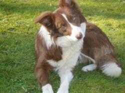 Calypso, chien Border Collie