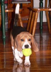 Calypso, chien Beagle