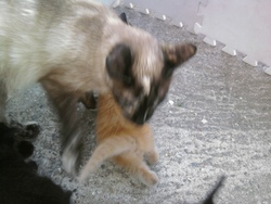 Calypso, chat