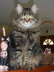 Calypso, chat Maine Coon