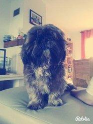 Calypso, chien Shih Tzu