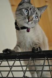 Calypso, chat Siamois