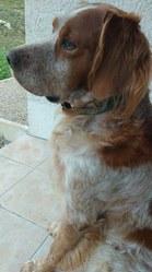 Calypso, chien Setter anglais