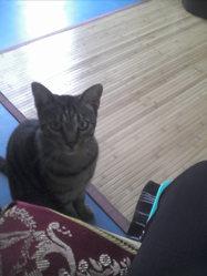 Calyso, chat Européen
