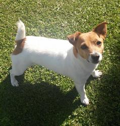 Calysta, chien Jack Russell Terrier
