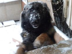 Camala, chien Berger belge