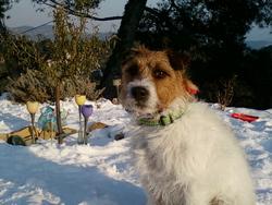 Camaro, chien Parson Russell Terrier