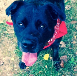 Cameron, chien Boxer