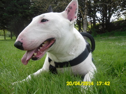 Cameron, chien Bull Terrier